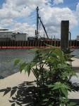 Ailanthus altissima - Whaler Creek